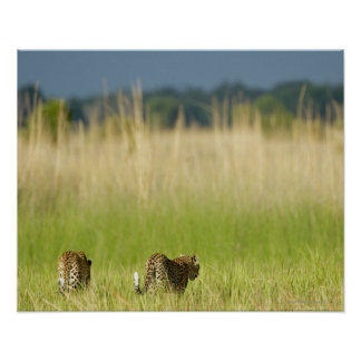 Rear view of Leopard Panthera pardus and cub Print