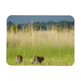 Rear view of Leopard (Panthera pardus) and cub Rectangular Photo Magnet