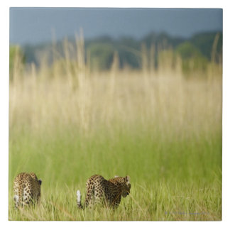 Rear view of Leopard (Panthera pardus) and cub Large Square Tile