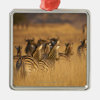 Rear view of Plains Zebra (Equus quagga), Tala Christmas Ornament