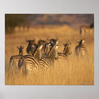 Rear view of Plains Zebra (Equus quagga), Tala Poster