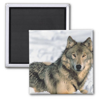 Reclining Wolf Square Magnet