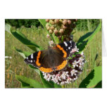 Red Admiral on Milkweed Cards