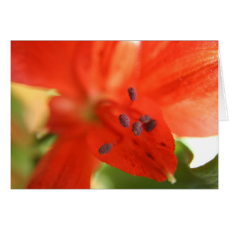 Red Alstroemeria Flower INVITATION