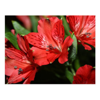 Red Alstroemeria Flower Postcard