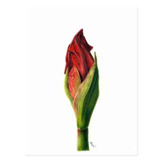 Red Amaryllis Postcard