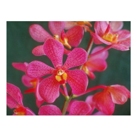 Red An orchid hybrid flowers Postcard