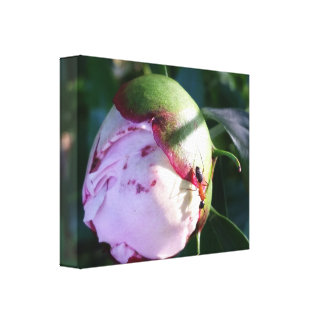 Red and Black Ant on Big Pink Flower Bud Canvas Print