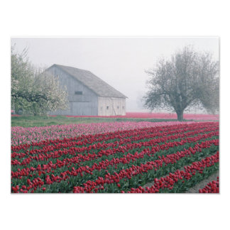 Red and pink tulips greet the day on a misty photo print
