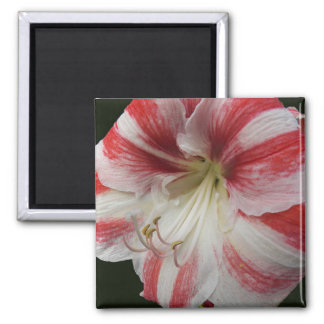 Red and White Amaryllis Floral Square Magnet