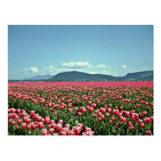 Red And White Tulip Field flowers Postcard