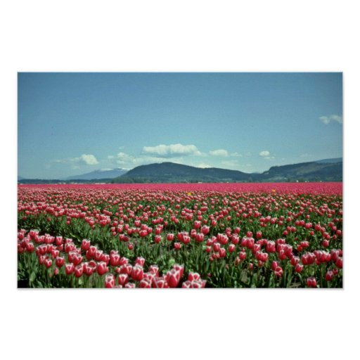 Red And White Tulip Field flowers Print