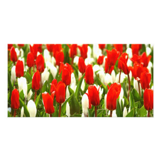 Red and White Tulips Picture Card