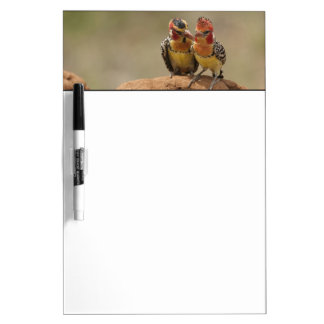 Red and Yellow Barbet eating termites Dry Erase Board