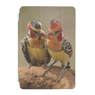 Red and Yellow Barbet eating termites iPad Mini Cover