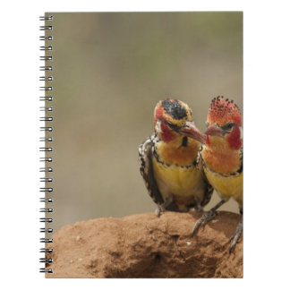 Red and Yellow Barbet eating termites Notebooks