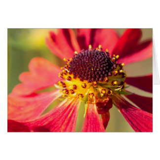 Red and yellow Cone Flower, Echinacea Greeting Card