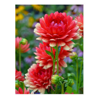 Red and yellow dahlia flowers postcard
