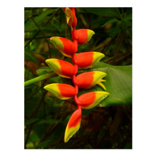 Red and Yellow Heliconia Flower Postcard
