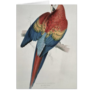 Red and Yellow Macaw Card