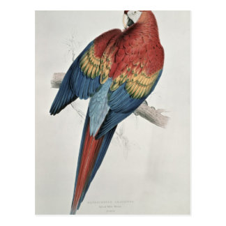Red and Yellow Macaw Postcard