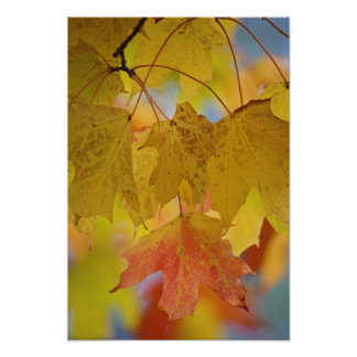 Red and yellow maple leaves, in the southern poster