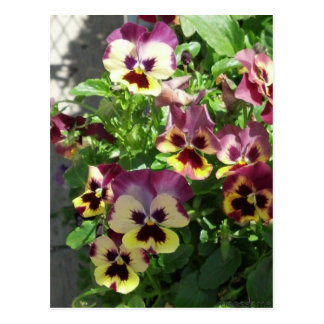 Red and Yellow Pansies 2013 Postcard