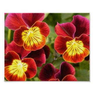 Red and Yellow Pansies Poster