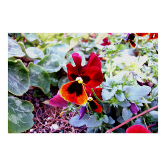 Red And Yellow Pansy Posters