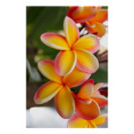 Red and Yellow Plumeria Flowers 2 Posters