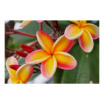 Red and Yellow Plumeria Flowers 3 Poster