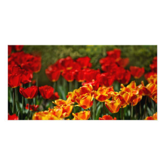 Red and Yellow Tulips Photo Cards