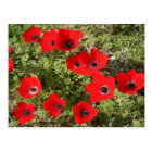 Red Anemone of Adonis Postcard