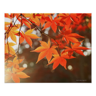 Red Autumn Maple leaves Posters