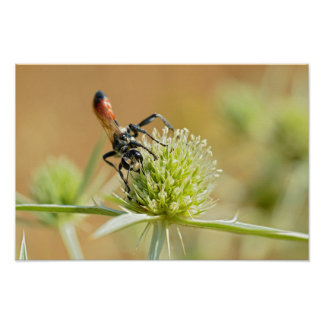 Red-banded sand wasp on thistle poster