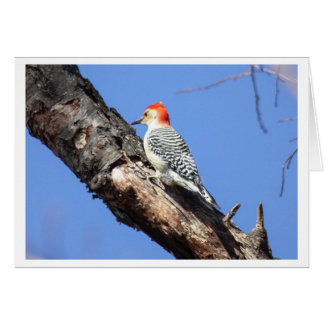 Red-bellied Woodpecker Card