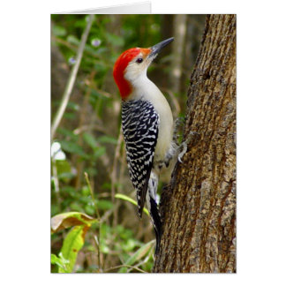 Red Bellied Woodpecker Card 3