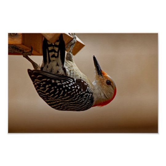 Red-bellied Woodpecker on a Suet Feeder Poster