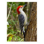 Red Bellied Woodpecker Postcard