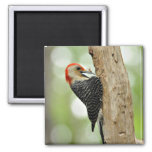 Red-Bellied Woodpecker Square Magnet