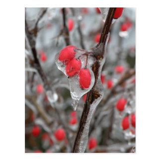 Red Berries Encased in Ice Postcard