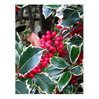 Red berries from a holly tree postcard