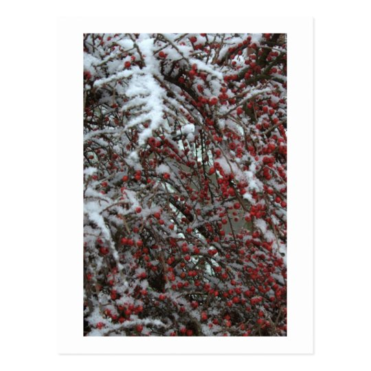 Red Berries Postcard