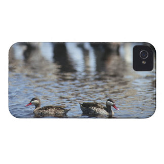 Red-billed teal (Anas erythrorhyncha) pair in iPhone 4 Cover