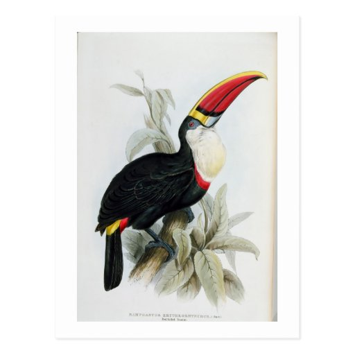 Red-Billed Toucan, from 'A Monograph of the Rampha Post Card