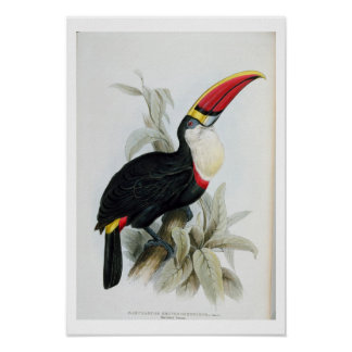 Red-Billed Toucan, from 'A Monograph of the Rampha Poster