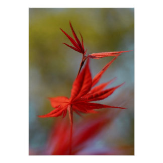 """Red Bloom"", Maple Leaf Poster"