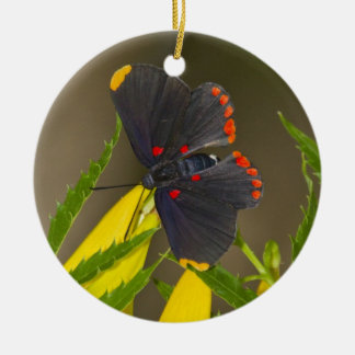 Red-bordered Pixie on esperanza brush Christmas Ornament