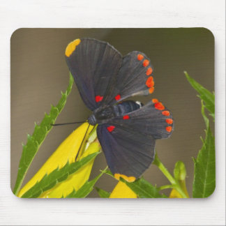Red-bordered Pixie on esperanza brush Mouse Pad