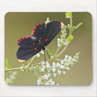 Red-bordered Pixie on white brush Mouse Mat